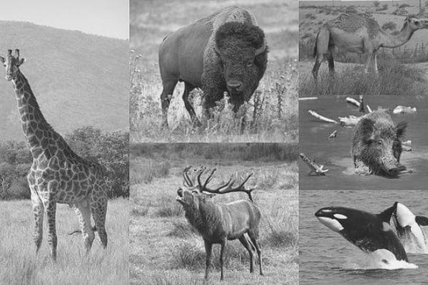 Photos de cétartiodactyles avec une girafe, un bison, un chameau, un sanglier et un orque.