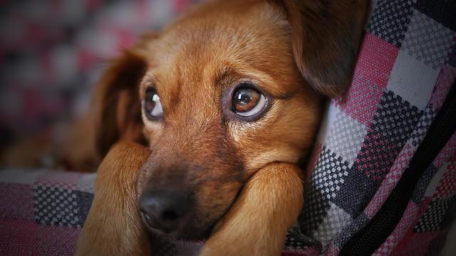 Un chien triste, après vaoir uséde son odorat, est allongé.