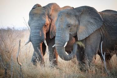 elephant-swaziland-observation