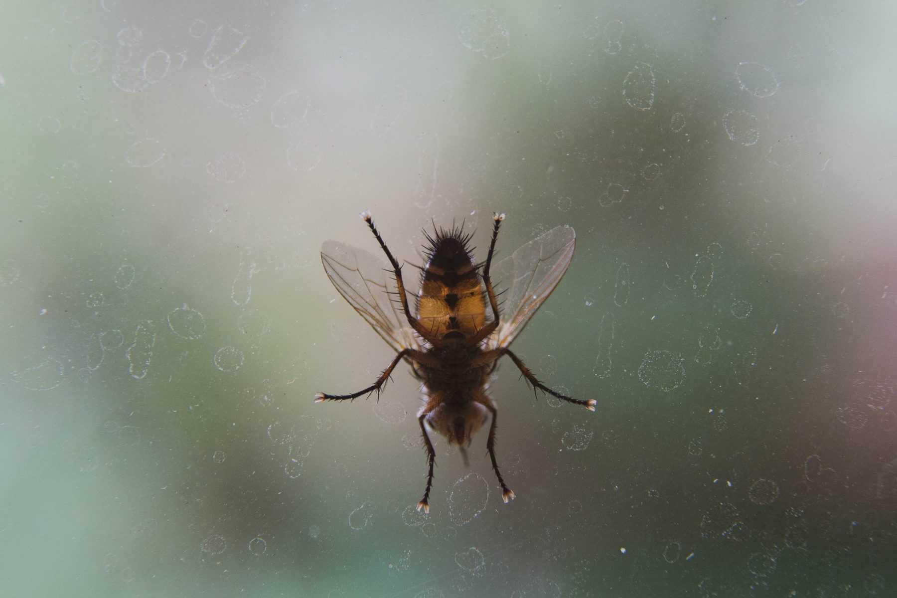 Mouche posée sur la vitre dans une maison.
