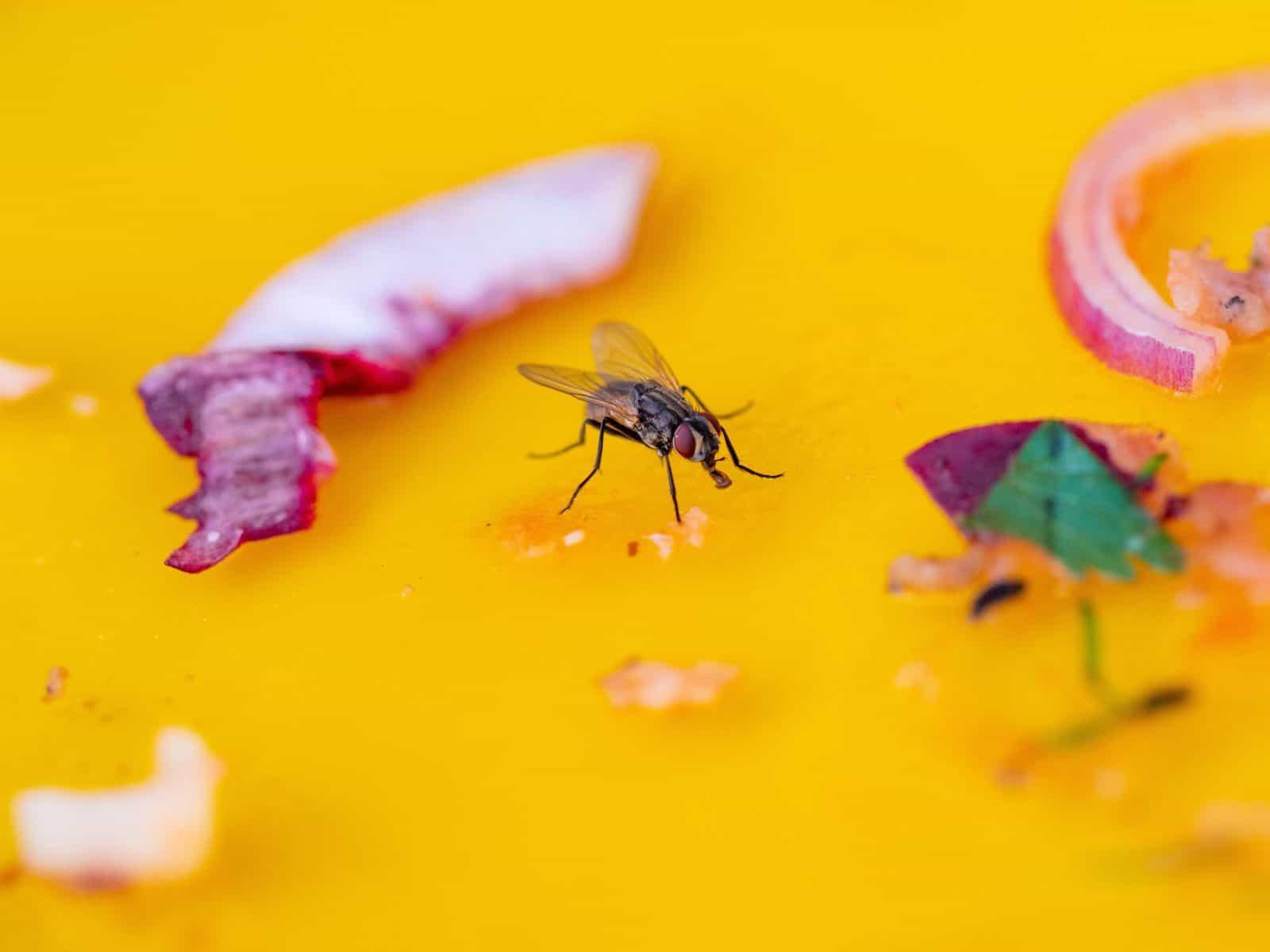 Une mouche, posée sur une table, est en train de manger.
