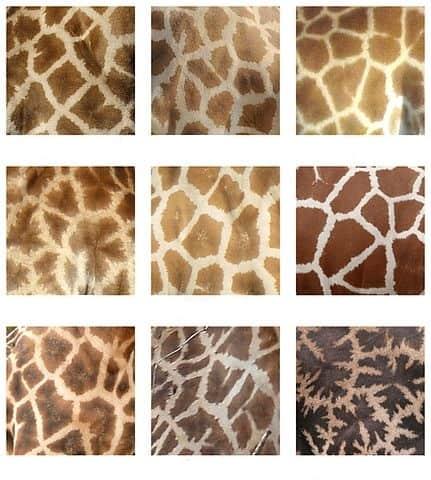 Comparaison du pelage de girafes de diverses espèces.