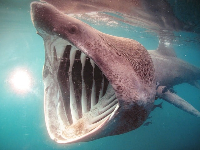 Photo d'un requin pelerin à grande gueule.