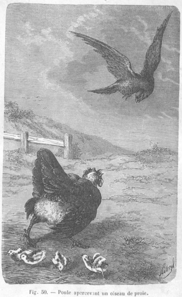 Dessin d'Ernest Menault d'une poule donnant l'alerte.