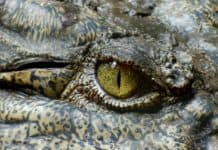 Différence entre le crocodile, l'alligator et le caïman dans cet oeil.