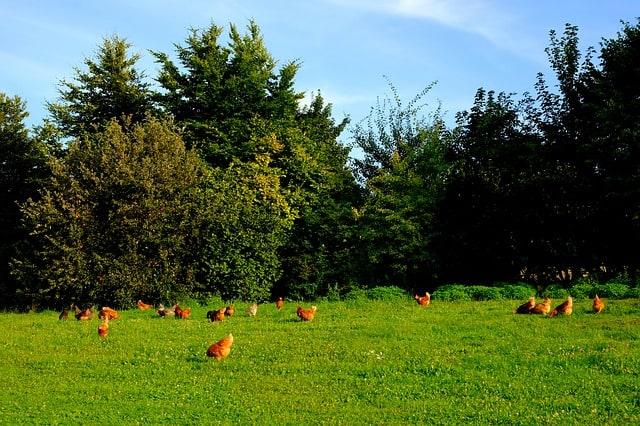 Organisation sociale des poules alors qu'elles picorent.
