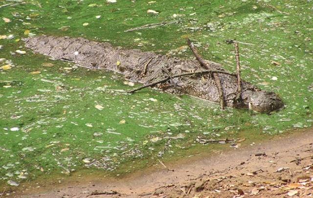 Photo d'un crocodile camouflé sous des brindilles par Vladimir Dinets.