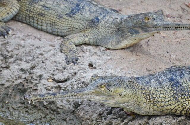Photo de gavial montrant la différence avec un crocodile.