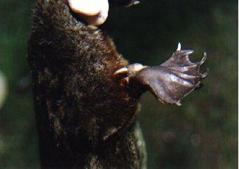 Aiguillon venimeux d'un ornithorynque ou platypus.