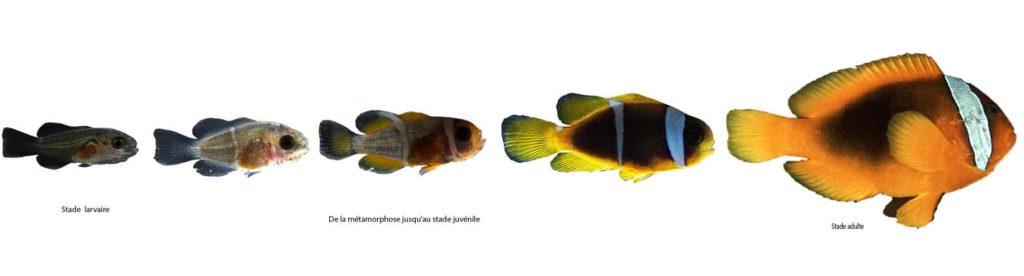 Evolution des bandes du poisson-clown.