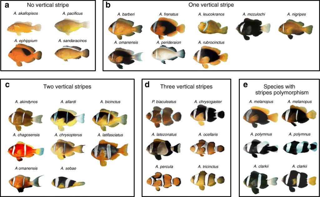 Ensemble des variétés d'amphiprions, poissons-clowns.