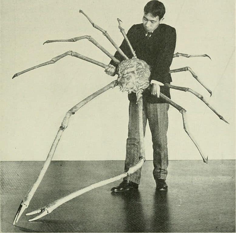 Crabe-araignée géant du Japon.