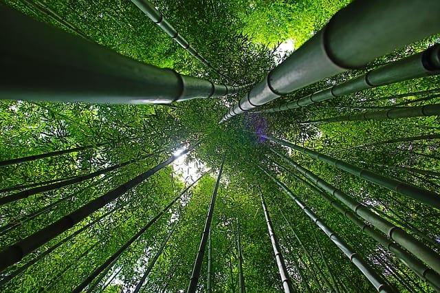 Photo de bas de bambou ou imitation de grand phasme.