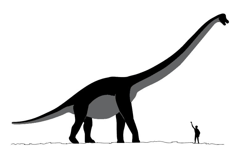 Schéma d'un sauroposeidon, plus haut dinosaure.