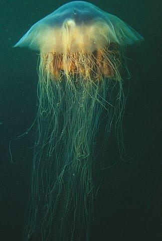 Plus long animal, méduse à crinière de lion Cyanea capillata.
