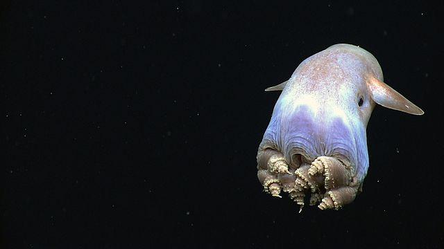Photo de pieuvre dumbo qui nage.