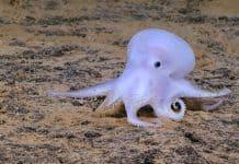Reproduction d'une pieuvre sans différence avec un poulpe.