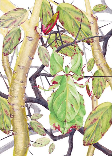 Illustration d'un phasmede Julie Terrazoni, tiré de l'atlas de zoologie poétique.