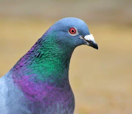 Beau pigeon biset (ou domestique ou voyageur)