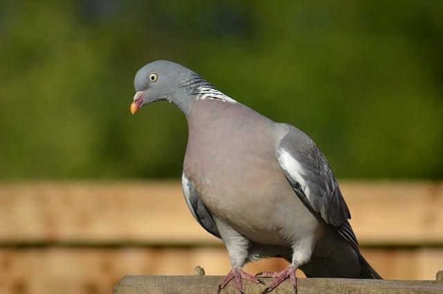 Pigeon ramier ou palombe.