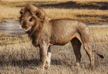 mélange de souris et de lion durant le safari du gorafi.
