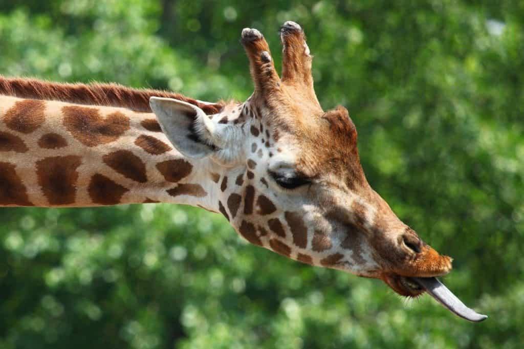 La taille de la langue de la girafe est impressionnante.